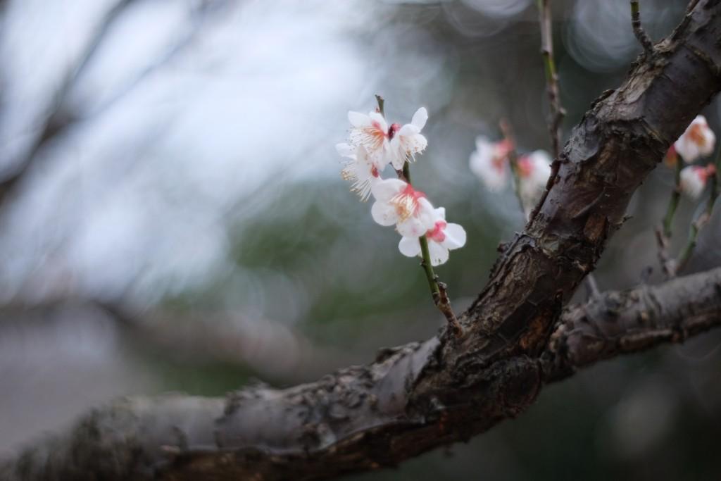 ときわ公園の梅の花をオールドレンズで撮ってみた。